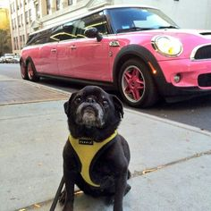 Black pug is sitting by a pink Mini Cooper limousine.