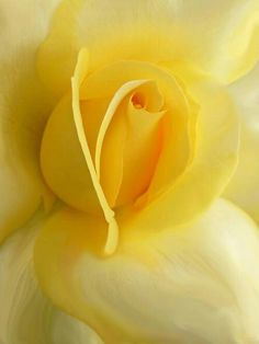 Yellow rose                                                                                                                                                                                 Mais