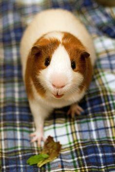 Cute Pet Guinea Pig Photo
