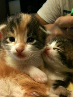 Maine Coon Kitten for Adoption Sale