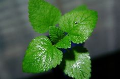 While its aggressive nature and reputation for taking over the garden is well deserved, growing mint plants can be a rewarding experience if it's kept under control. Look at how to grow mint in this article. Peppermint Herb, Peppermint Plants, Easy Herbs To Grow, Growing Herbs, Hugo Cocktail, Smoothies Detox, Growing Mint, Growing Lavender, Salads