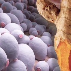 【#AngeMaya】#Yeast Is A #CauseOfCancer And #Turmeric Can Kill Both. A recent study published in Critical Reviews in Microbiology lends support to the concept that opportunistic Candida albicans (yeast) infection may not just be a consequence of cancer, but is an actively contributing cause as well. A new study published in the European Journal of Pharmacology reveals that the primary polyphenol in turmeric known as curcumin may be the perfect way to fight cancers that have a fungal component…
