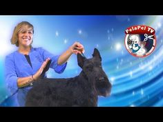 PELUQUERÍA CANINA WORKSHOP STRIPPING SCOTTISH TERRIER CON PATRICIA CAMPOS - YouTube