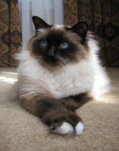 Birman Cat. I love this breed.