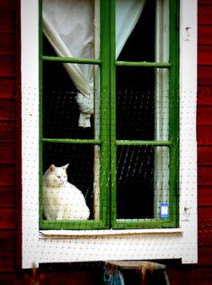 white cat, green window