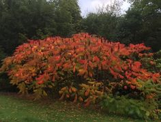 What is blooming at Mount Juliet Estate?  The grounds at Mount Juliet will be awash with good autumn colours in the coming weeks and will provide a visual treat for guests and visitors on to our magical estate.  The autumn colour trees/shrubs you may see include this colourful Rhus typhina (syn. Sumach),