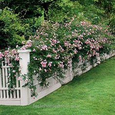"Terrific Climbing Roses …easy flowers for fences. ""The Fairy"" pictured…follow the pin for more great roses… The post Climbing Roses …easy flowers for fences. ""The Fairy"" pictured…fol… appea .."