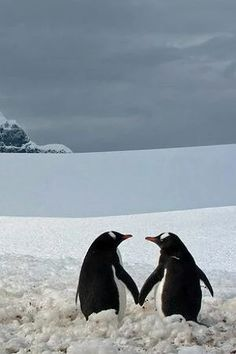 """funkysafari: """" """"I took this picture at Port Lockroy during my trip to Antartica. The two penguins almost touching flippers, looking at each other, and captured against the majestic frozen background, seemed romantically involved."""" by Marius Ilies """" Animals And Pets, Baby Animals, Funny Animals, Cute Animals, Penguin Love, Cute Penguins, Beautiful Birds, Animals Beautiful, Wale"""