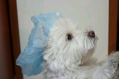 Shower Time from I love Westies....sooo cute!!!!