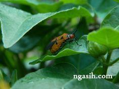 Dysdercus cingulatus