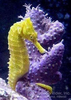 Sunburst® - Hippocampus erectus