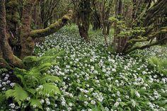 hazel forest, The Burren, Ireland