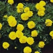 Tagetes patula 'Yellow Boy' (French marigold 'Yellow Boy') Click image to learn more, add to your lists and get care advice reminders  each month.