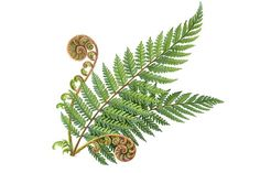 Nature Illustration, Pencil Illustration, Graphic Illustration, Illustrations, Fern Tattoo, Leaf Tattoos, Fiddle Fern, Hip Tattoos Women, Silver Fern