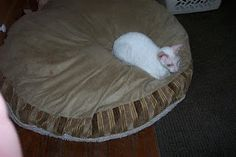 Diary of a Physician Assistant Wannabe: More cat pictures- Odette on her doggy bed