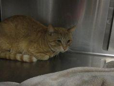 Lost Cat - Tabby - Hamilton, ON, Canada L8P 3J1