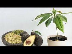 Cómo cultivar su propio árbol de aguacate en una maceta en su jardin - YouTube