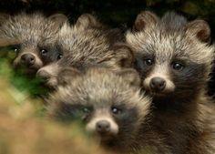 Chinese raccoon dogs