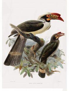 22 Manilla Hornbill