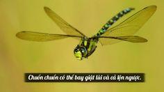 Chuồn chuồn có thể bay giật lùi và cả lộn ngược.