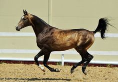 A Akhal Teke Effortlessly Cantering.