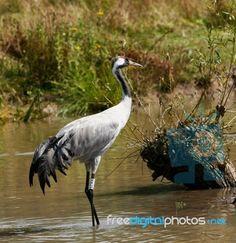 """Eurasian Crane"" by Tina Phillips Marine Corps Insignia, Bird Feathers, Crane, Royalty Free Stock Photos, Birds, Storks, Herons, Animals, Life"