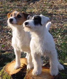 a couple of Jacks - probably THE best dogs on the planet.