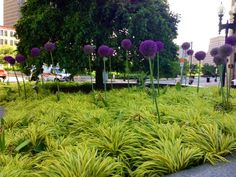 Nice display of Allium and  Hakonechloa macra 'Aureola' on Congress St at Federal Reserve 6-15-2013