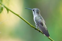 Listen Closely: There's Something Hidden in This Hummingbird's Chirp | WNPR News