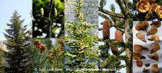 ABETO BLANCO (abies alba). PLANTAR ÁRBOLES y arbustos: Árboles Autóctonos de España