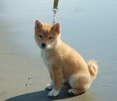 Shiba Inu Mango at the Beach 10 weeks 3 days by Netsirksmada, via Flickr
