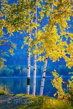 Birch trees in fall color on the shore of Lake MacDonald in Glacier National park in Montana by Nelson kenter