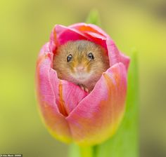 The heart-warming snaps captured a rare glimpse of the mice - which measure just long - nestled in freshly-bloomed tulip heads in Scarborough, North Yorkshire. Baby Mouse, Cute Mouse, Most Beautiful Animals, Beautiful Creatures, Cute Baby Animals, Funny Animals, Harvest Mouse, Funny Parrots, Animal Magic