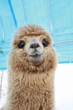 Big Eyed Llama, too cute.