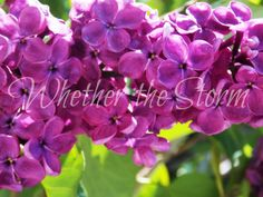 "Lilac print ""Imbue"" by WhetherTheStorm on Etsy"