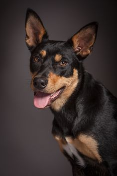 Portrait of an Australian Kelpie dog called Ted Order an oil painting of your pet today at petsinportrait.com