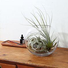 土がいらない植物、エアプランツ