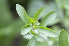 How to Use Dried Stevia Leaves as a Sweetener in Recipes:  Portion 1 tablespoon of ground stevia for every cup of sugar called for in the recipe