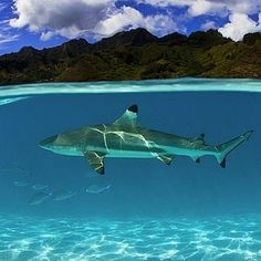 The Gold Coast is home to some incredible marine life, and local photographer Adam Duffy captures them beautifully in his work #gapsnap #goldcoast #visitgoldcoast #beach #beachlife #australia #australiagram #visitaustralia #shark #sharks #wildlife #wildlifephotography #travel #traveling #travelling #travelgram #instatravel