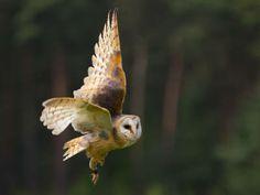 Barn Owl in flight--love owls!
