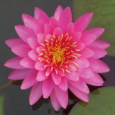 N. 'Miss Siam' Hardy Waterlily