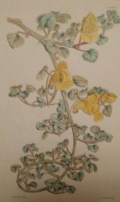 Kew GardensFlowering PlantsColouring Aquilegia Caerulea Impatiens Repens