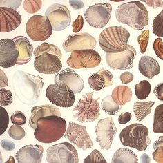 Mixed Seashells Italian Print Backing Paper ~ Tassotti
