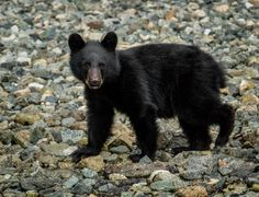 Bears and birds and whales oh my! Canadian Wildlife, Vancouver Island, Canada Travel, Black Bear, Whales, Bears, Animals, Animales, American Black Bear