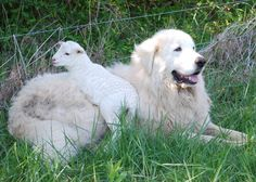 Training Manual for Livestock Guardian Dogs - Pyrenees are the best dogs! Farm Animals, Animals And Pets, Cute Animals, Maremma Sheepdog, Maremma Dog, Great Pyrenees Dog, Farm Dogs, Sheep Dogs, Working Dogs