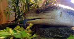 With a bright blue tongue and lovable character, blue-tongued skinks are a great choice for those who like their lizards laid back and chilled out.