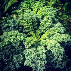 One of our fresh picks this week - Kale. Known as a super food, this leafy veg is packed full of vitamins and minerals.