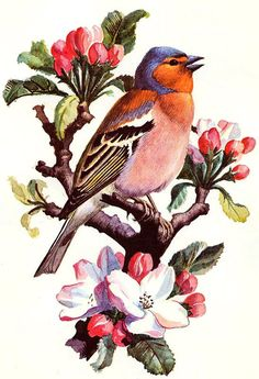 Chaffinch ~ Charles Tunnicliffe