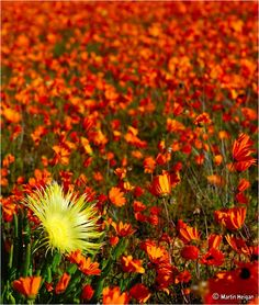 Namaqualand – South Africa's Daisy Sensation ~ Kuriositas Love Flowers, Colorful Flowers, Wild Flowers, The Odd Ones Out, Gardens Of The World, Western Coast, Flower Stands, All Nature, Types Of Plants