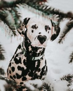 Meet Wiley, The Cutest Dalmatian Dog With A Heart On His Nose Learn what food is good for your beloved dog and know what not to feed him. Learn how to make food and treats so your dog doesn't get harmful chemicals. Cute Puppies, Dogs And Puppies, Doggies, Dalmatian Dogs, Wild Dogs, Girl And Dog, Dog Park, Funny Dogs, Dog Breeds